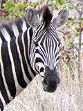 Zebra - Quelle: www.de.wikipedia.org